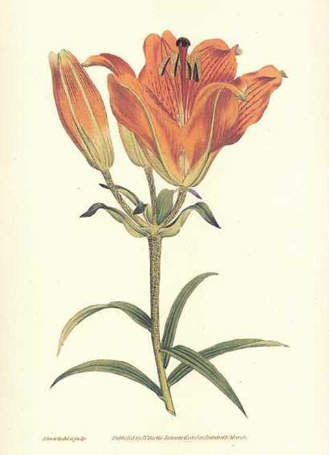 Heritage Editions Orange Lily print, Curtis Lilium Bulbiferum