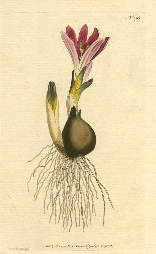 William Curtis Bulb Botanical engraving. Vernal Bulbocodium. c1791