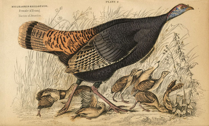 Lizars Meleagris Gallopavo, Wild Turkey female & young, c1840