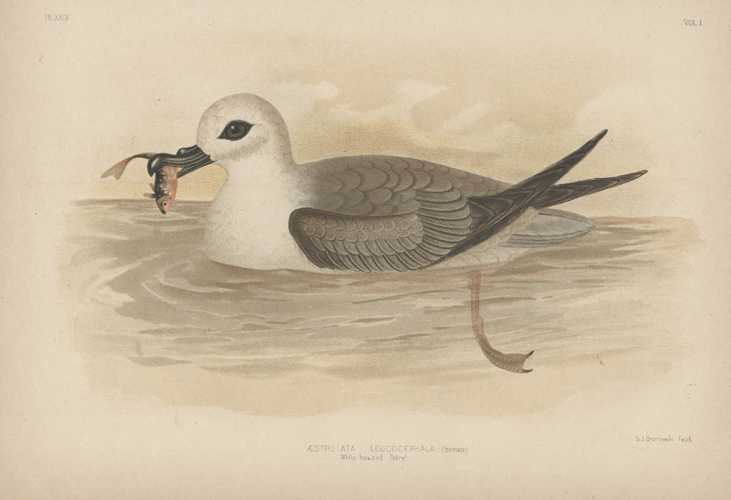 Broinowski bird lithograph. White-headed Petrel with fish. c1890