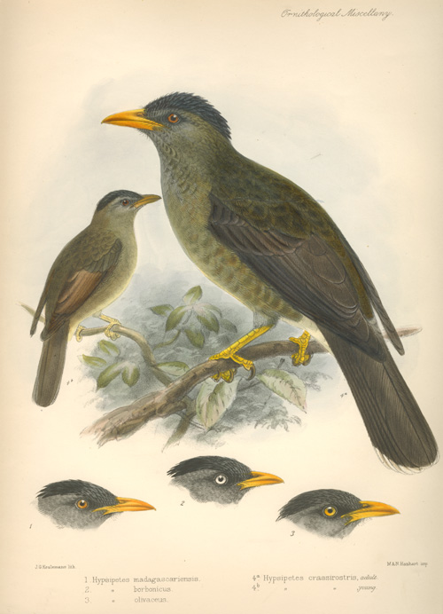Keulemans lithograph of Thrushes. Hypsipetes madagascariensis and friends c1876.