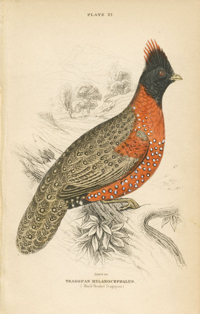 Lizars Tragopan Melanocephalus engraving. Horned Pheasant. Black-Headed Tragopan. c1840