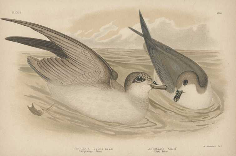 Broinowski bird lithograph. Soft-plumed Petrel. Cook's Petrel. c1890