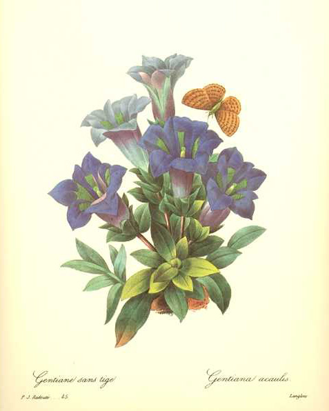 Redoute Blue Gentians with Butterfly. Gentiana Acaulis print.