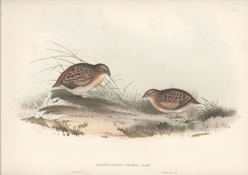 Elizabeth Gould lithograph of Australian Button Quail. Swift-Flying Hemipode Hemipodius Velox c1848.