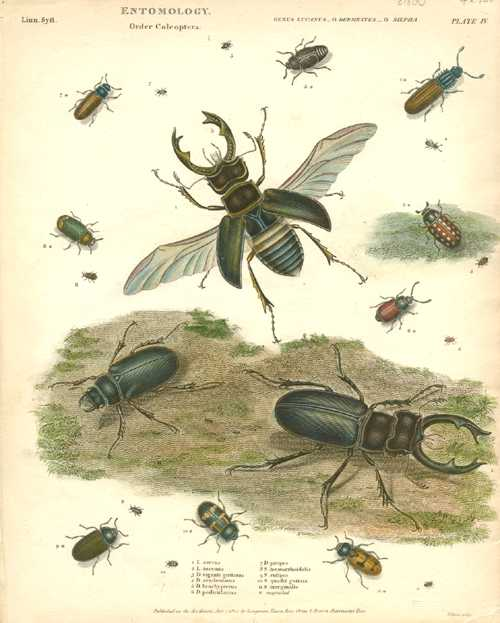 Fine Entomology engraving of Coleoptera beetles. Rees c1814