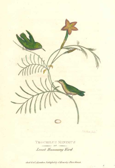 50% off engraving of Trochilus minimus, the smallest Hummingbirds c1808.
