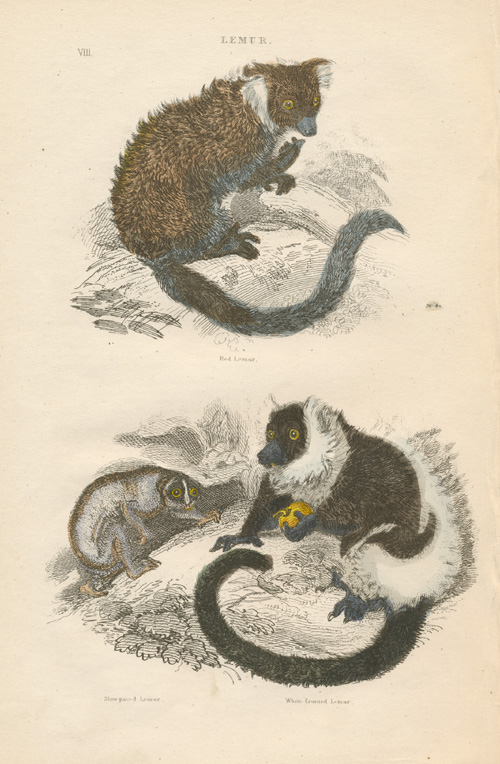 Red Lemur, Slow-paced Lemur, White-fronted Lemur, antique print c1854.