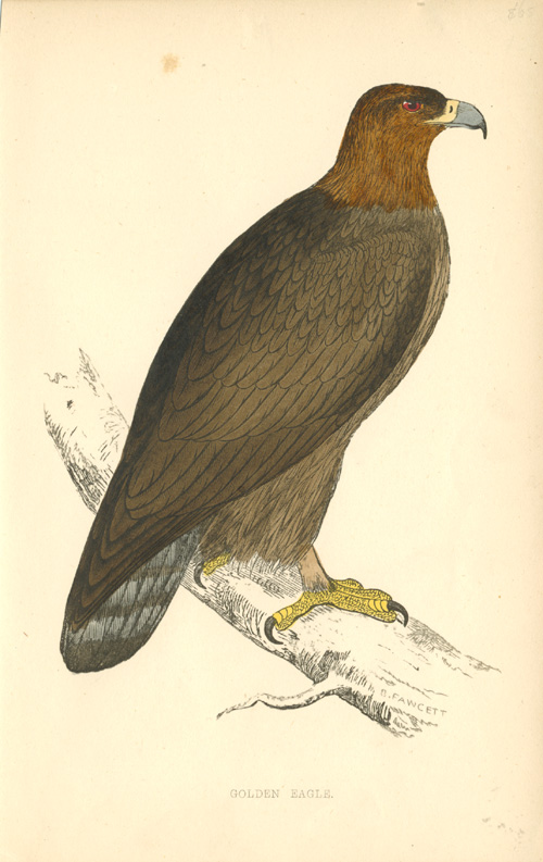 Golden Eagle antique print. Finely hand-coloured engraving c1857.