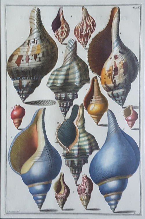 Beautifully hand-coloured engraving of Molluscs. Gualtieri c1748.