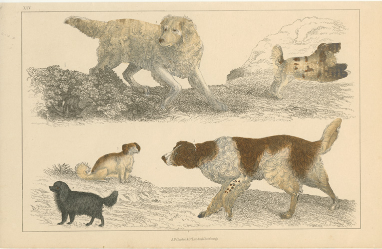 Retrievers. Dogs engraving c1852 for Goldsmith's Animated nature.