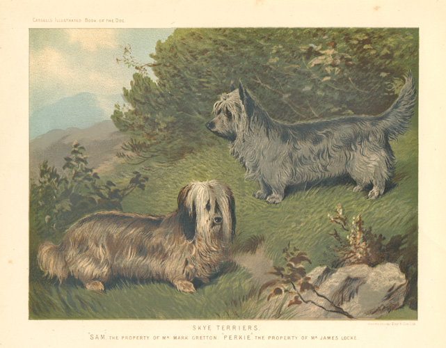 "Skye Terriers. ""Sam"" and ""Perkie"". Lovely antique print c1881."