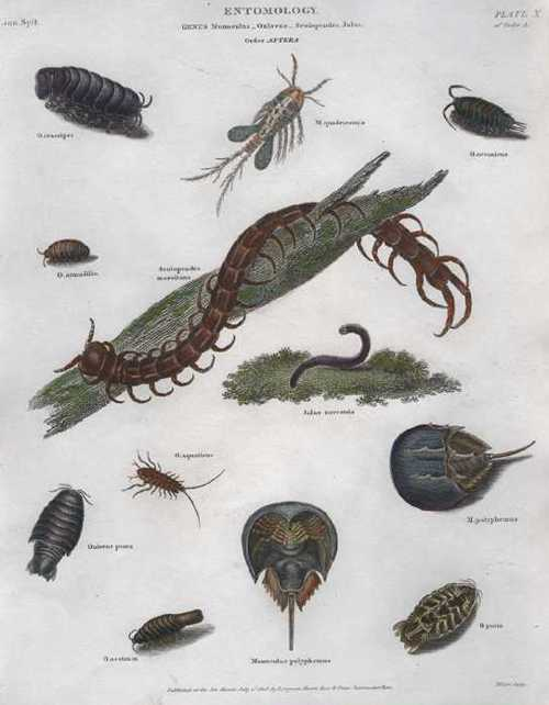 Rees Entomology Order of Aptera. Centipede antique engraving c1808