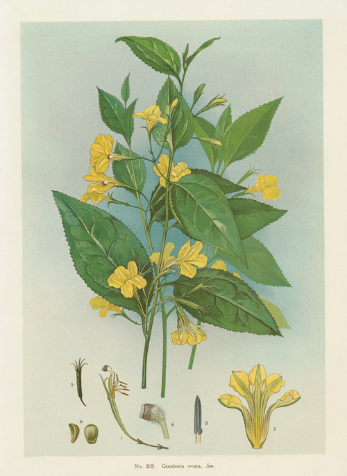 Australian Goodenia ovata yellow-flowered ground cover. Lithograph c1898