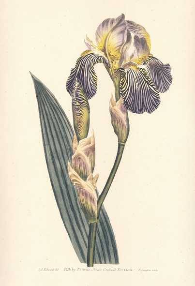 Brown Flag Iris Squalens, Heritage Editions Curtis print.