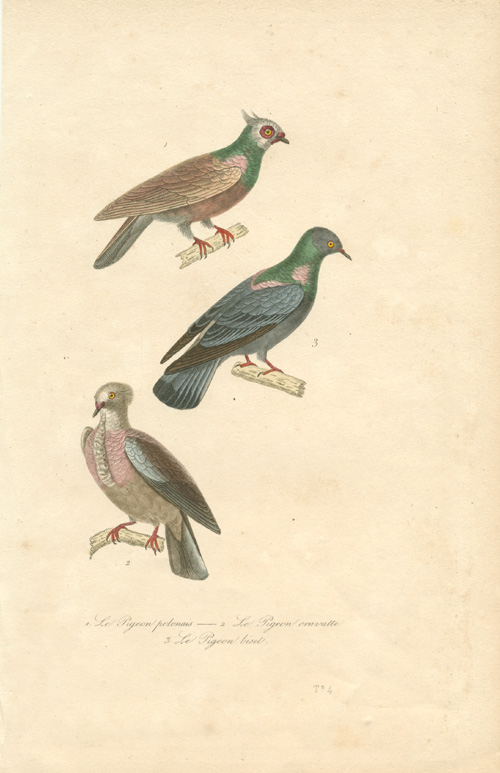 Exquisite hand-coloured Pigeons engraving. Lacepede c1836.