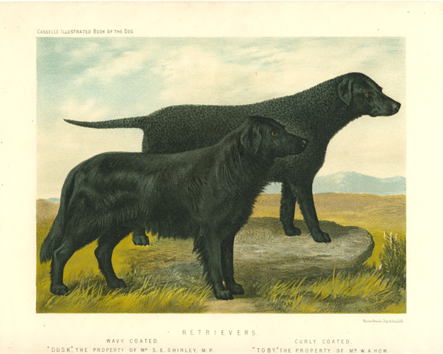 "Retrievers antique print. Wavy-Coated ""Dusk"". Curly-Coated ""Toby"". Cassell c1880."