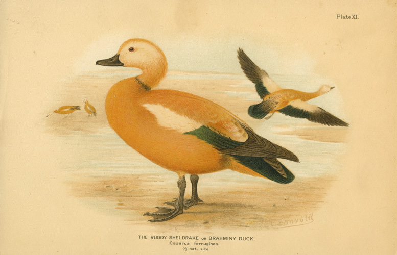 The Ruddy Sheldrake or Brahminy Duck. Casarca ferruginea c1904.