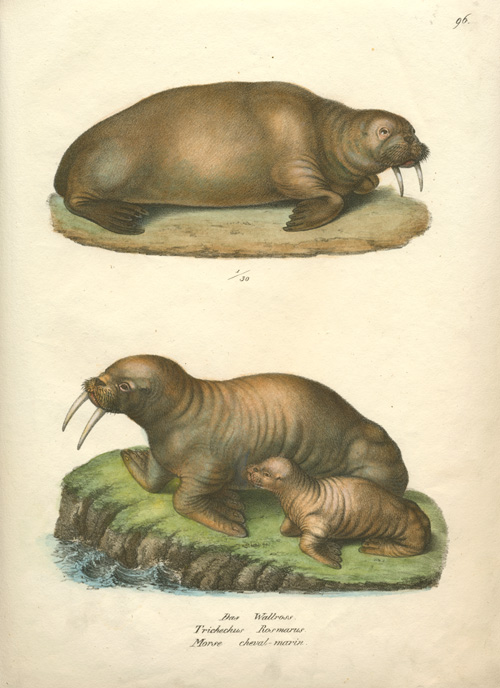 Brodtmann hand-coloured lithograph of Walruses with young c1827