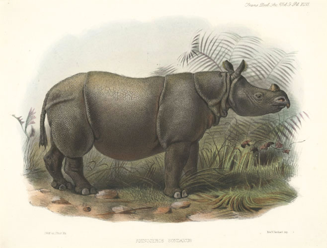 Sclater, Rhinoceros Sondaicus lithograph by Josef Smit after Josef Wolf c1876.