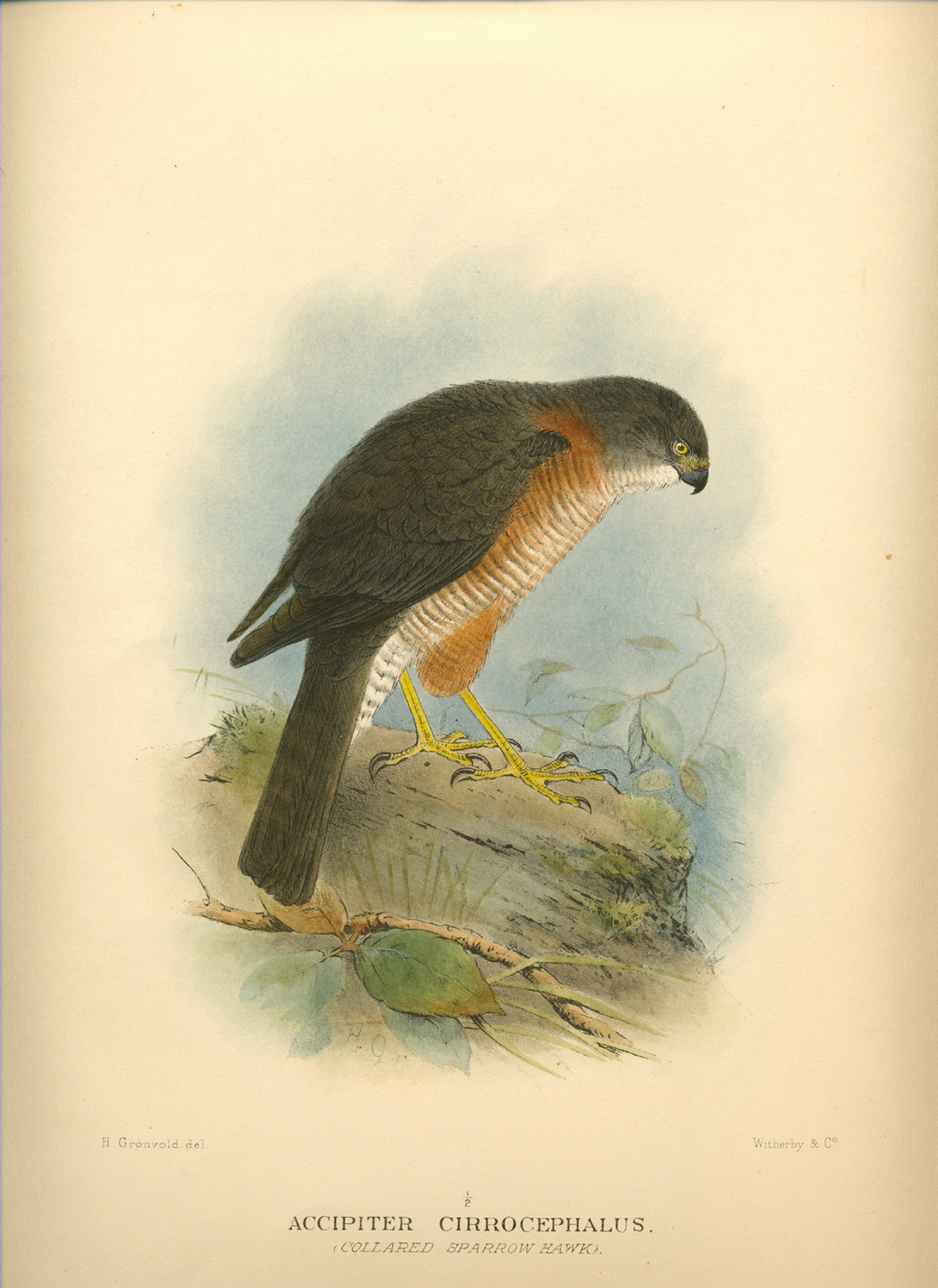 Accipiter Cirrocephalus, Collared Sparrow Hawk. Mathews' Birds of Australia c1910-27.)
