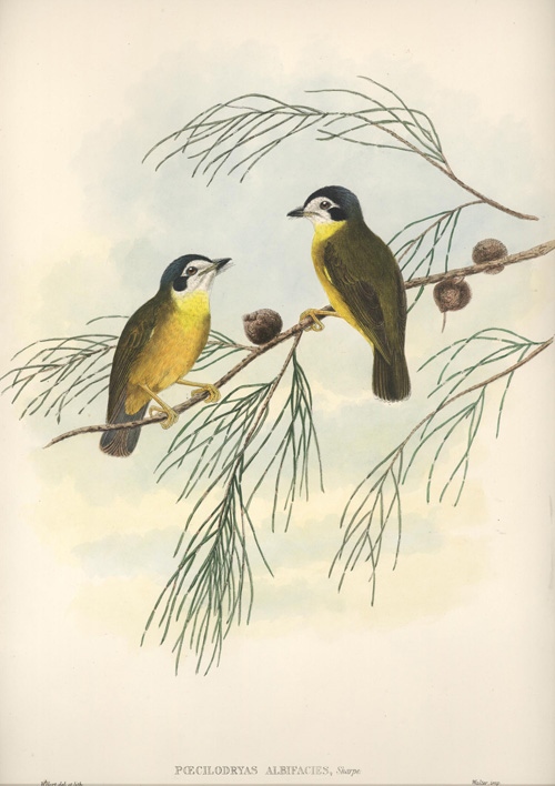 Pretty Southern White-faced Flycatchers, Poecilodryas albifacies John Gould lithograph c1880.