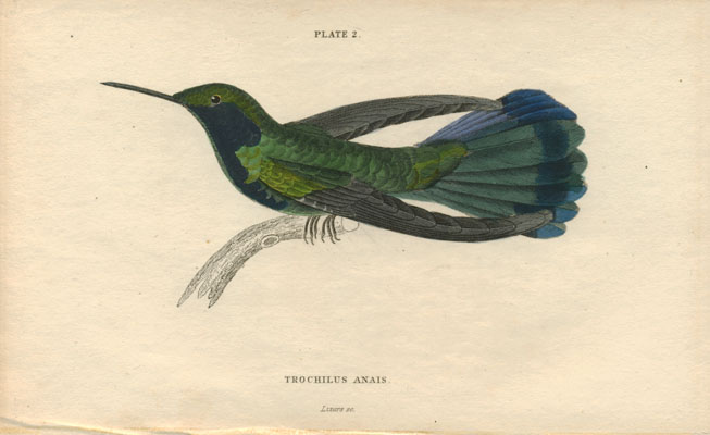 Jardine's The Naturalist's Library, female Trochilus Anais (female) Lizars engraving c1854.