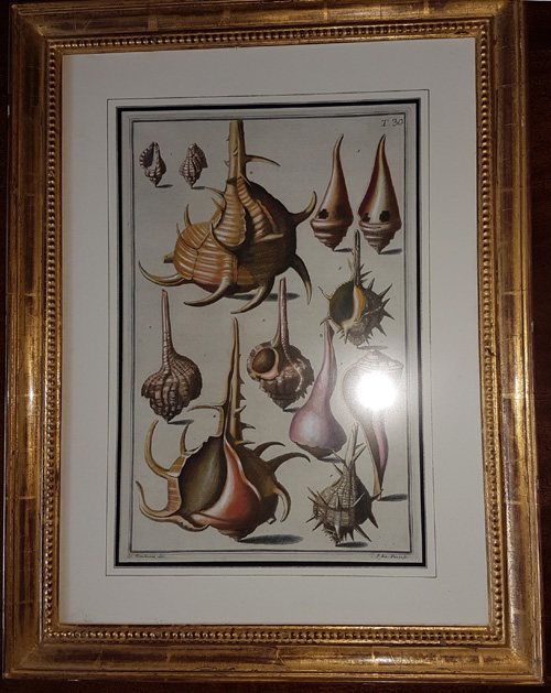Framed wondrous shells. Gualtieri Conchology Plate 30 c1742.
