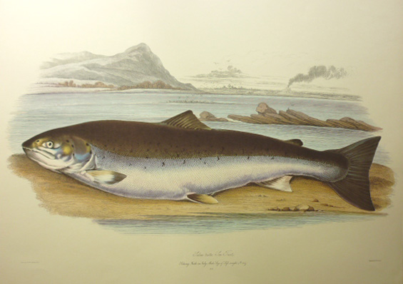 Salmon, Salmo trutta. Fine large Limited Edition print.