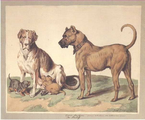 Dog Print: Mastiffs. Reproduction from a Sydenham Edwards watercolour
