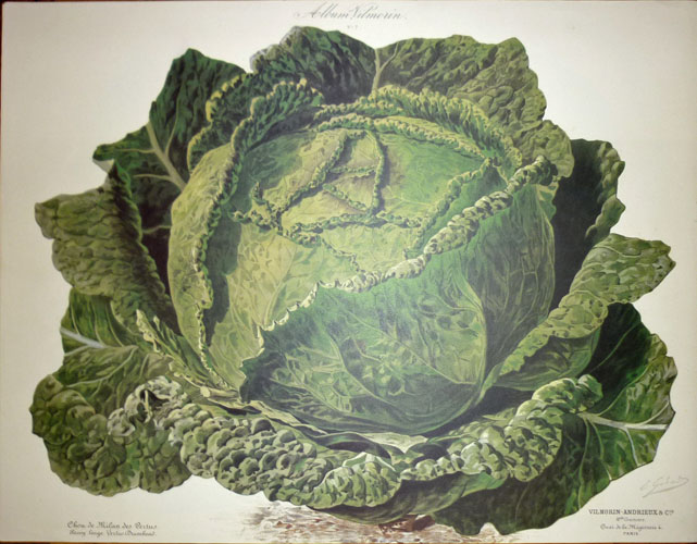 Very large Cabbage. Vilmorin Vegetables reproduction print