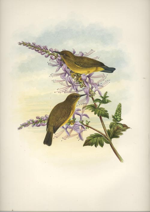 Solomon Islands Zosterops, Rendova White-eye John Gould lithograph c1880
