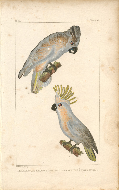 White-crested Cockatoo & Yellow-crested Cockatoo engraving. Pauquet c1836
