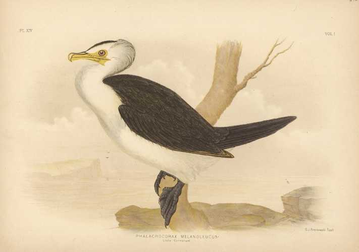 Broinowski Australian bird lithograph of Little Cormorant. c1890
