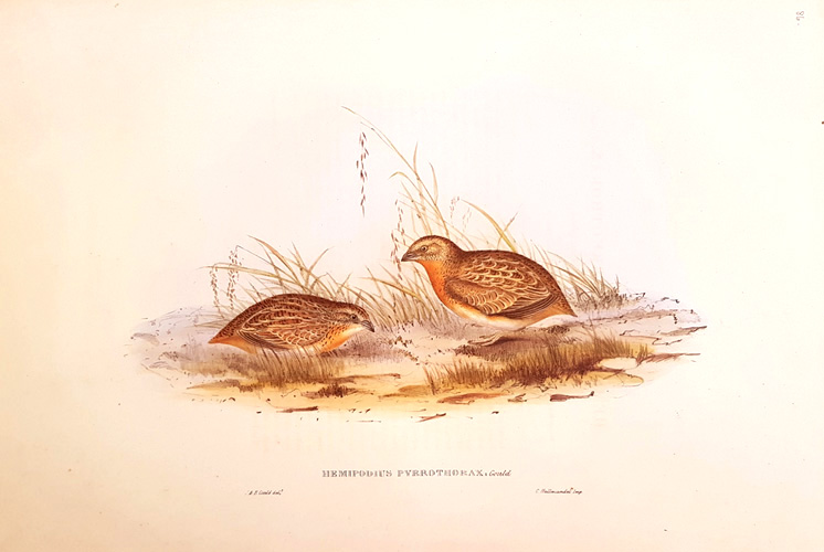 Elizabeth Gould Red-chested Buttonquail, Birds of Australia reproduction