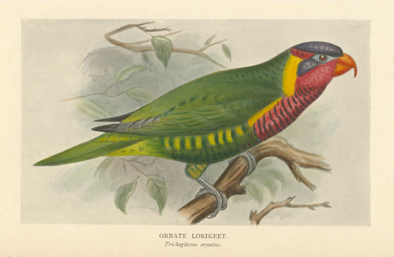 Ornate Lorikeet. Trichoglossus ornatus. Lithograph for Seth-Smith c1903.