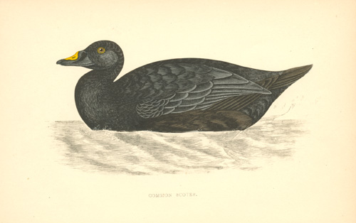Common Scoter Duck colour-printed woodblock for FO Morris c1857.