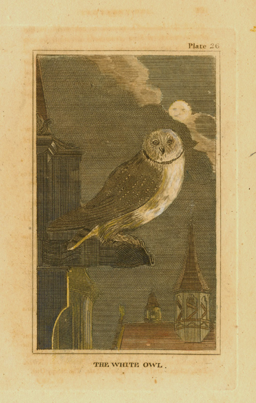 Small Buffon engraving of The White Owl c1788.