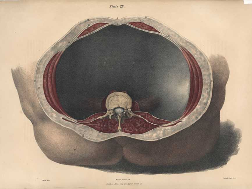 Superb Medical Anatomy. Muscles enclosing abdomen. Lithograph c1842