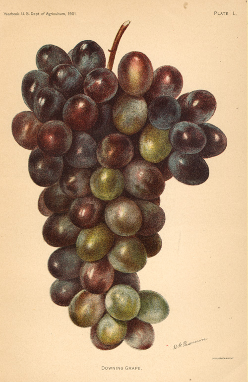 Downing Grape antique lithograph by D.G. Passmore c1901.