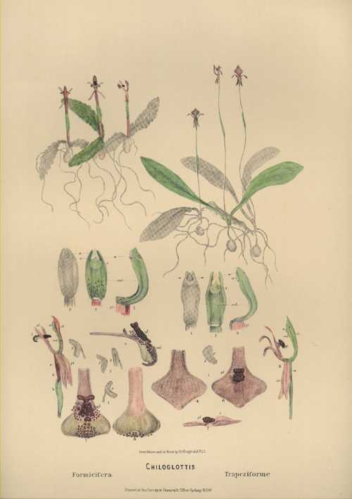 Australian Orchids. Chiloglottis with dissections. Lithograph by R.D. Fitzgerald