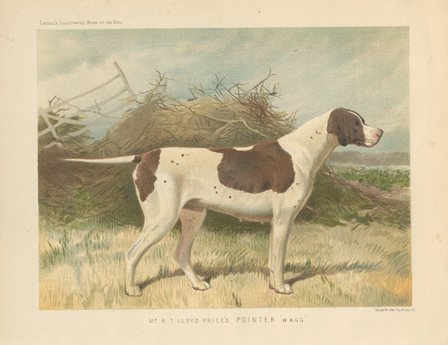 "Mr. R.T. Lloyd Price's Pointer ""Wagg"". Cassell lithograph c1881."