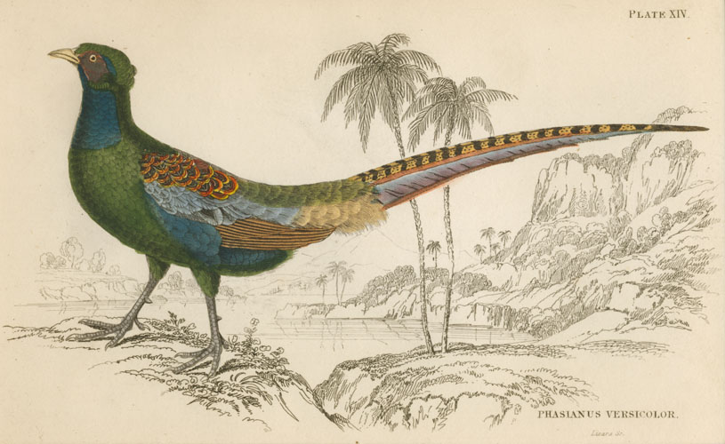 Lizars Pheasant Phasianus Versicolor (male). Versicoloured Pheasant engraving c1840