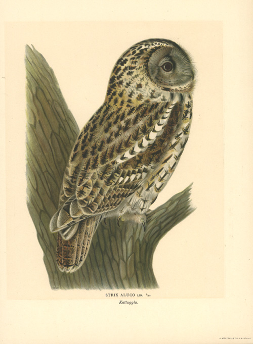50%-off Tawny Owl or Brown Owl, Strix Aluco c1927.