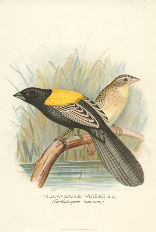 Yellow-backed Whydah (Penthetriopsis macrura, now, Euplectes macroura) lithograph c1896.