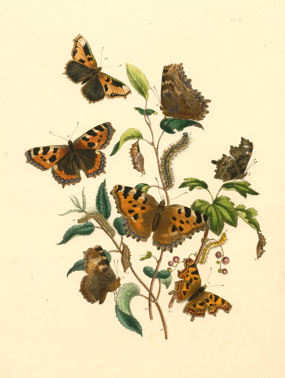 Vanessa Album, Polychloros, Urticae, Red Currant, Elm, Stinging Nettle.