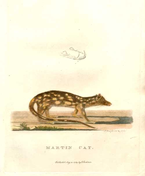 Australian Dasyure, Martin Cat copperplate engraving c1789 from Governor Phillip's Voyage