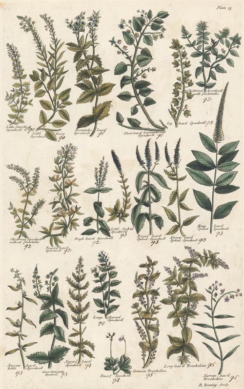 Speedwell, and Brookeline Herbal engravings. John Hill c1756.