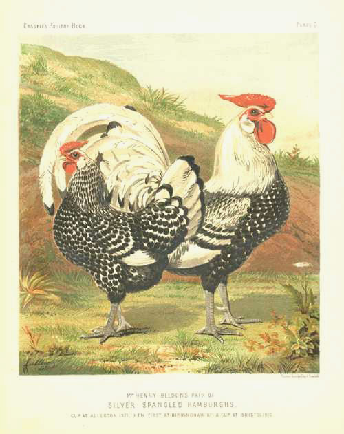 Poultry: Chickens. Silver Spangled Hamburgs lithograph c1880