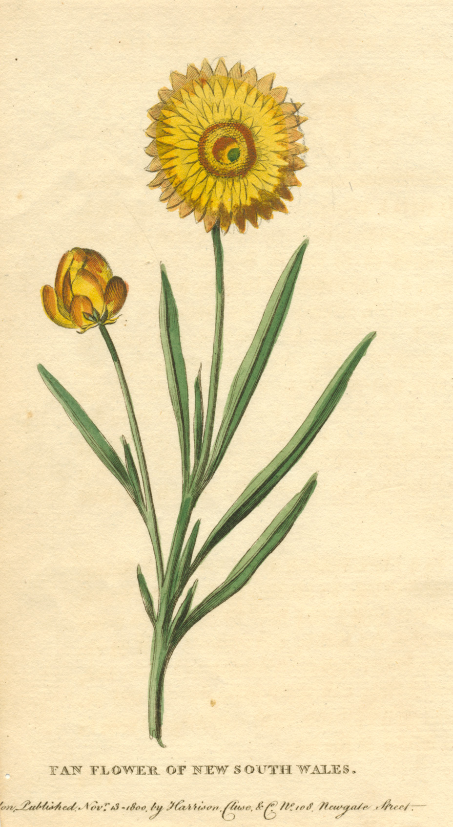 Fan Flower of New South Wales. Everlasting Daisy engraving c1800.